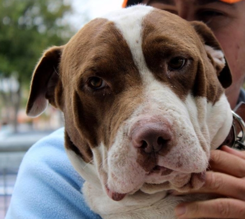 Moose - American Bulldog | Humane Society of Dallas County