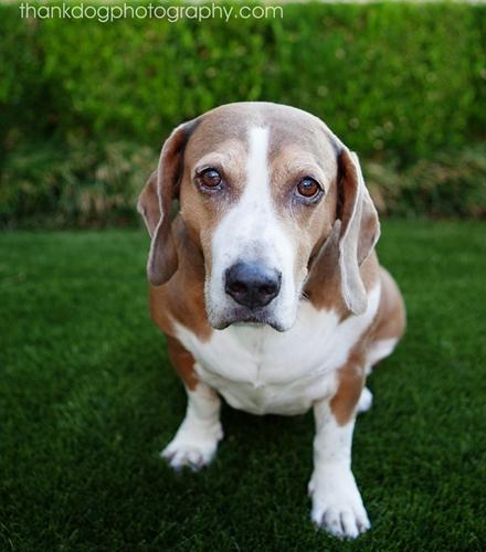Maddie - Basset Hound   Humane Society of Dallas County