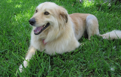 Golddust - Golden Retriever | Humane Society of Dallas County