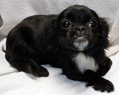 Wrigley - Pekingese | Humane Society of Dallas County