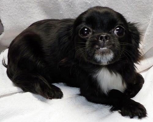 Wrigley Pekingese Humane Society Of Dallas County
