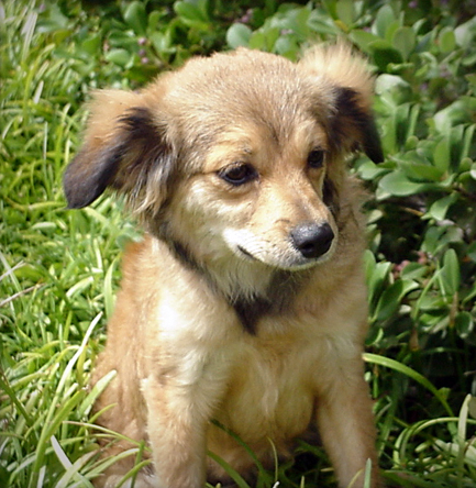 Cavalier King Charles Spaniel Tibetan Spaniel Hybrid Dogs, Tibaliers ...
