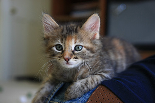 Baby Carrot Calico Humane Society Of Dallas County