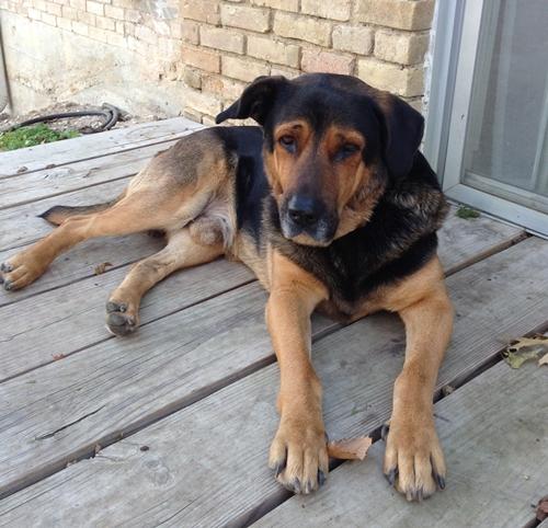 Roscoe Bloodhound Humane Society Of Dallas County