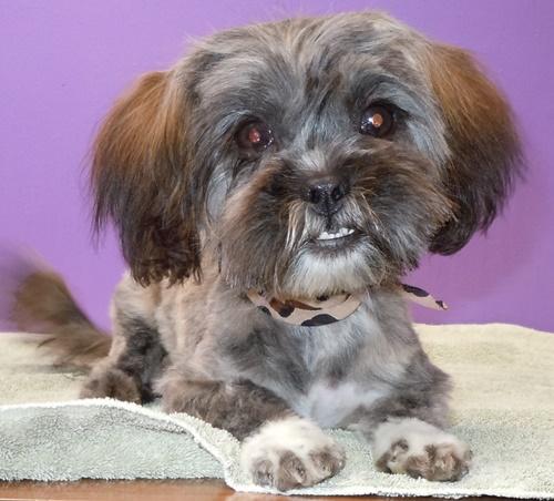 Mina - Yorkshire Terrier Yorkie | Humane Society of Dallas ...