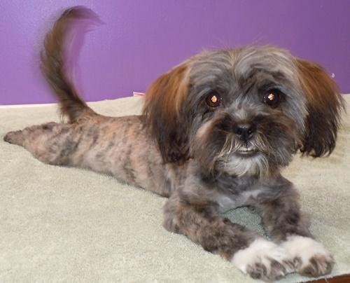 Mina Yorkshire Terrier Yorkie Humane Society Of Dallas County
