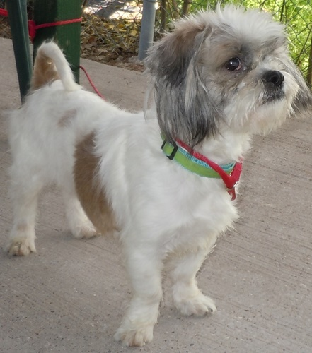 shih tzu daschund rabbit shih tzu humane society of dallas county 3766