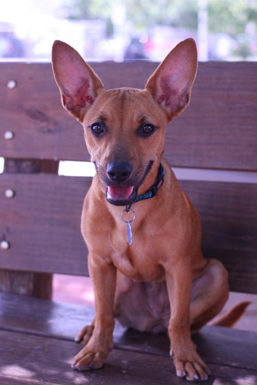 Treasure Chihuahua Humane Society Of Dallas County