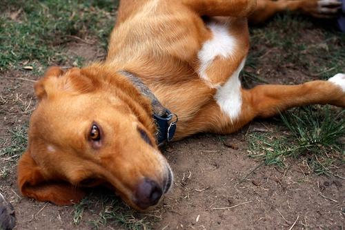Dudley - Basset Hound   Humane Society of Dallas County