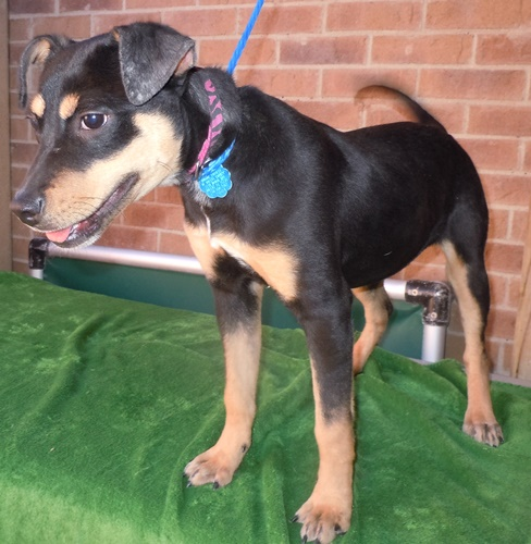 Wiggles Miniature Pinscher Humane Society Of Dallas County