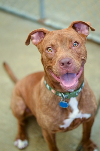 Roxy American Pit Bull Terrier Humane Society Of