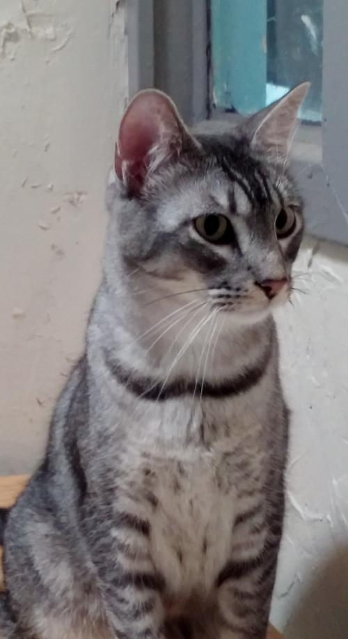 Abyssinian tabby cat mix