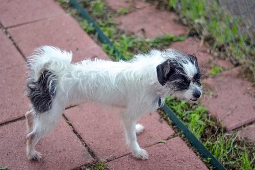 Lacy Lulu Shih Tzu Humane Society Of Dallas County