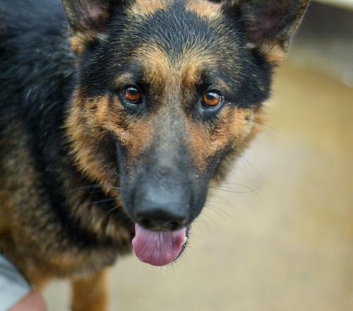 Gino - German Shepherd Dog | Humane Society of Dallas County