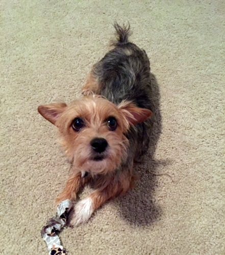 Yorkshire Terrier Mix Penny - Yorkshire Terr...