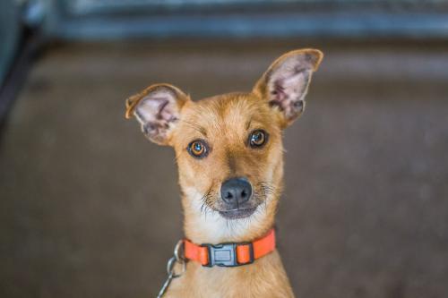 Boxer Chihuahua Humane Society Of Dallas County