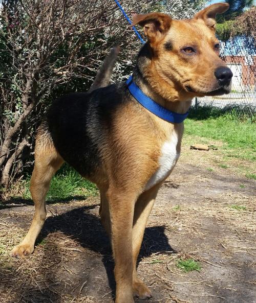 dog ready for adoption labrador retriever golden retriever mixed
