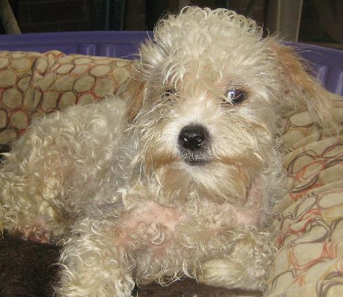 ... Galleries: White Maltese Poodle Mix , Shih Tzu Poodle Mix Adult