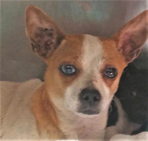 Adopt A Small Dog In Dallas Tx