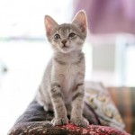 Ferrah - Domestic Short Hair