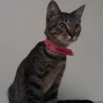 Hermosa - Domestic Short Hair