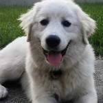 Loreal - Great Pyrenees