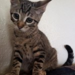 Emmeryn - Domestic Short Hair