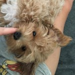 Montie - Maltese / Poodle (unknown type) [Mix]