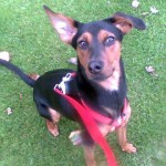 Angel - Doberman Pinscher [Mix]