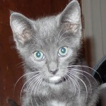 Inaya - Domestic Short Hair