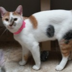 Fiona - Domestic Short Hair / Calico