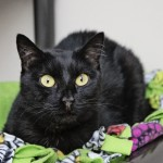Carma - Domestic Short Hair