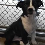 Panda - Border Collie [Mix]