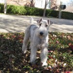 Daisy - Wirehaired Fox Terrier