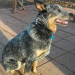 Jr - Australian Cattle Dog/Blue Heeler [Mix]