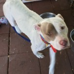 Jasmine - American Pit Bull Terrier [Mix]