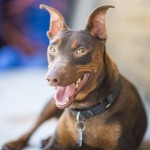 Ennis - Miniature Pinscher [Mix]