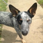 Bella - Cattle Dog [Mix]