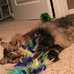 Duke - Maine Coon [Mix]