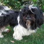 Frost - Lhasa Apso