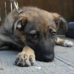 Xena - German Shepherd Dog [Mix]
