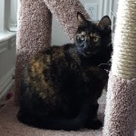 Chloe - Domestic Short Hair