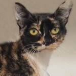 Lilyanna - Domestic Short Hair