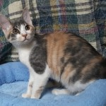Adelle - Domestic Short Hair