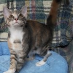Addie - Domestic Short Hair