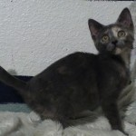 Zina - Domestic Short Hair