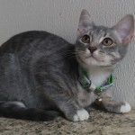 Maria - Domestic Short Hair
