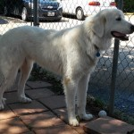 Cotton - Great Pyrenees