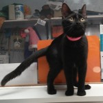 Freida - Domestic Short Hair