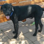 Batman - Labrador Retriever [Mix]